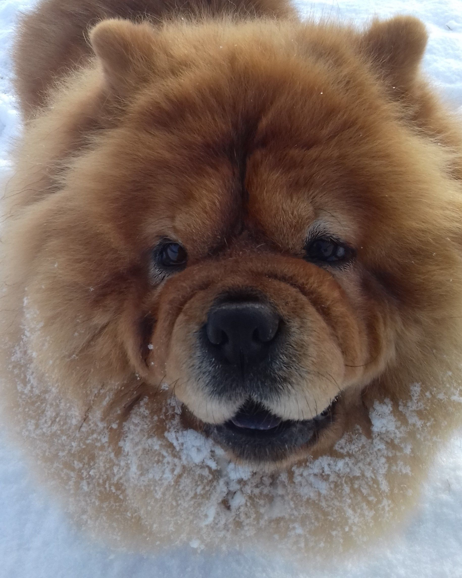 My Happy Mishka Baby Cutest Dog Ever Chow Chow Dogs Cute Dogs