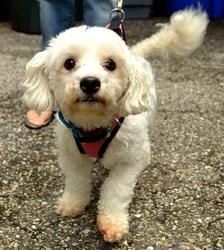 Adopt Barnaby Adoption Pending On Poodle Mix Dogs Maltese