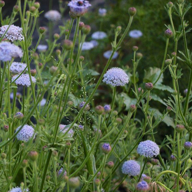 Didiscus Caeruleus Blue Lace Flower Flower Farm Flowers Blue Flowers