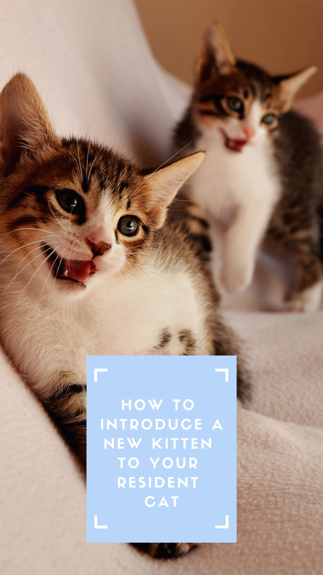 Vivipet How To Introduce A New Kitten To Your Resident Cat Introducing A New Cat Cats Cat Adoption