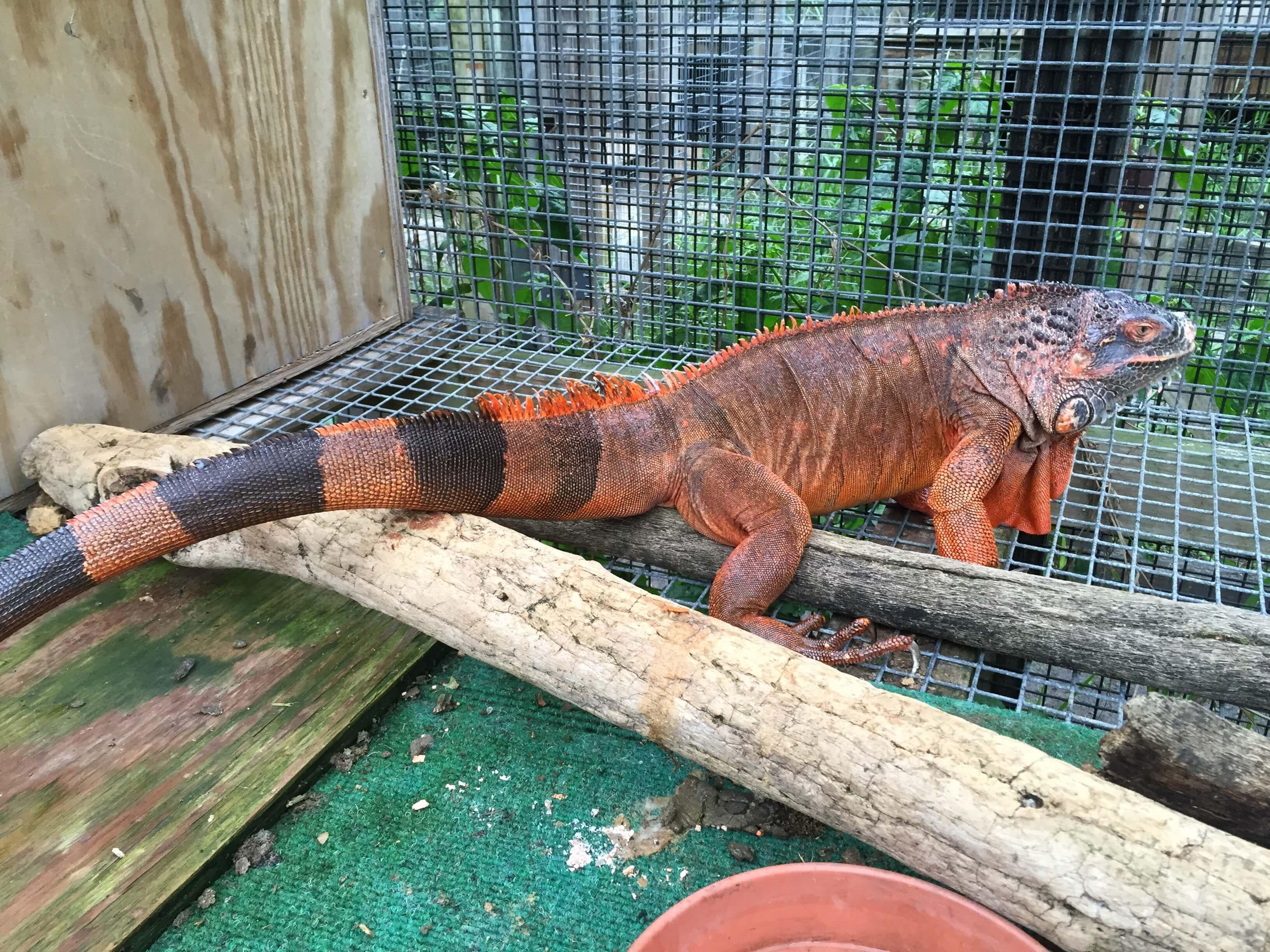Iguanas Green Color Morphs Super Red