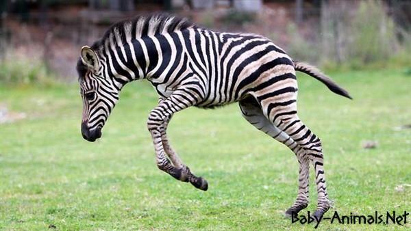 Funny Baby Zebra Babyzebra Cutezebra Cutebabyzebra Littlezebra Sweetzebra Sweetbabyzebra Babyanimals Cuteanimals Sweetanimals