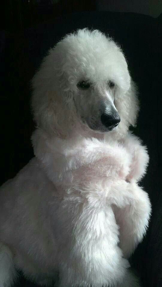 Beautiful White Cream Standard Poodle Puppy Poodle Puppy White