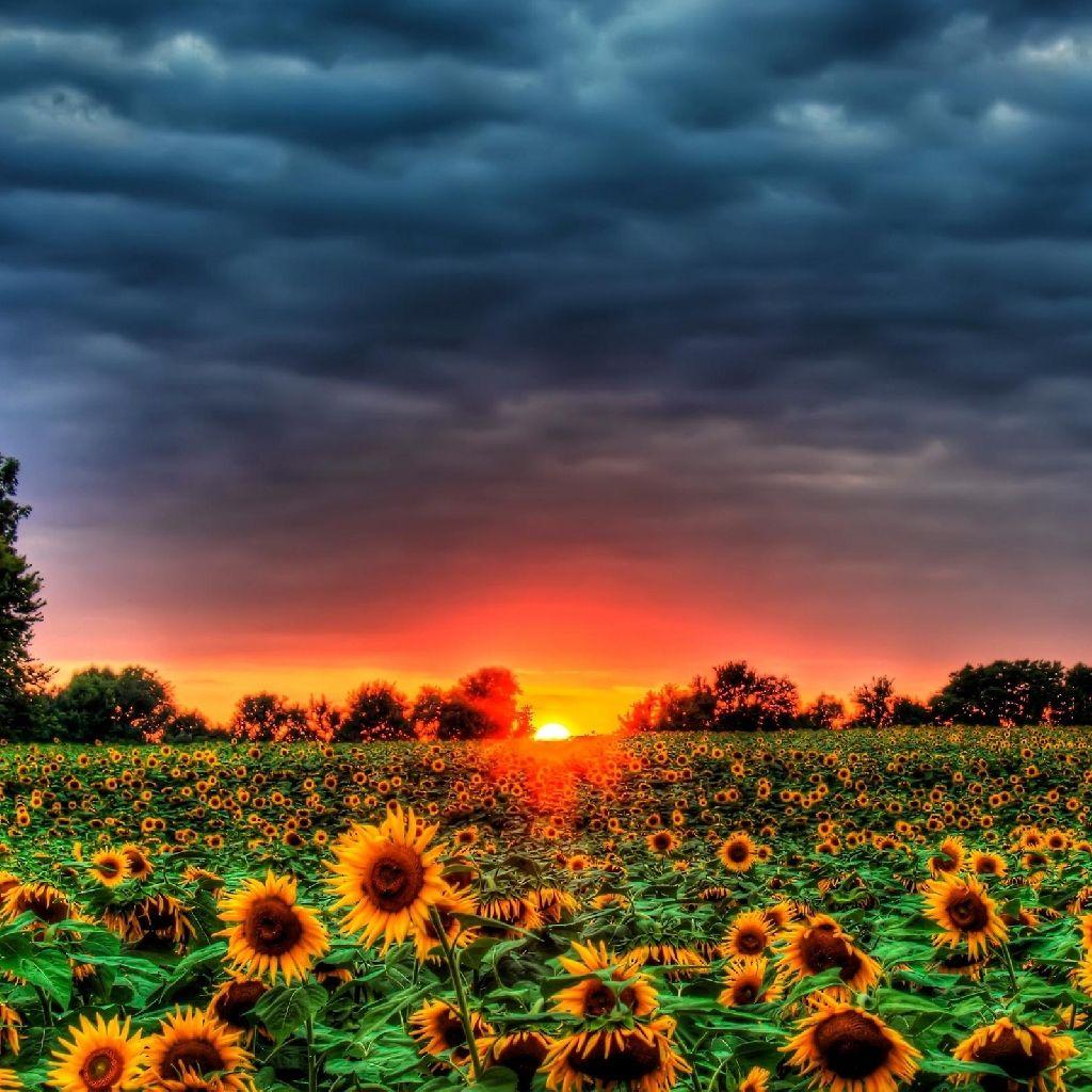 Pin by Ashley Kear on Flowers | Sunflower wallpaper ...
