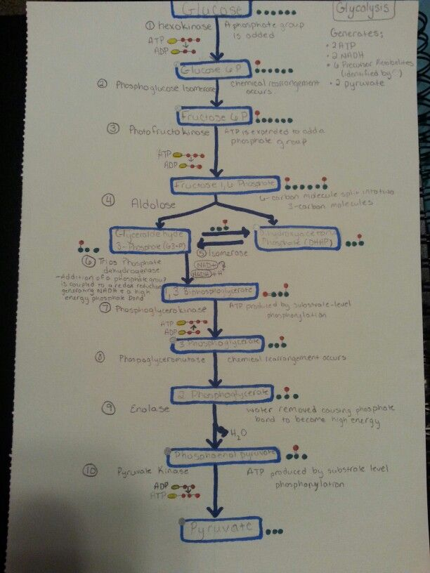 Glycolysis Metabolic Pathway Staying Calm Studying