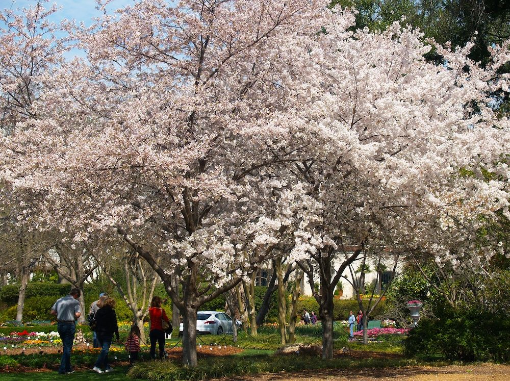 Blossoming Nearby Weeping Cherry Tree Flowering Cherry Tree Yoshino Cherry Tree