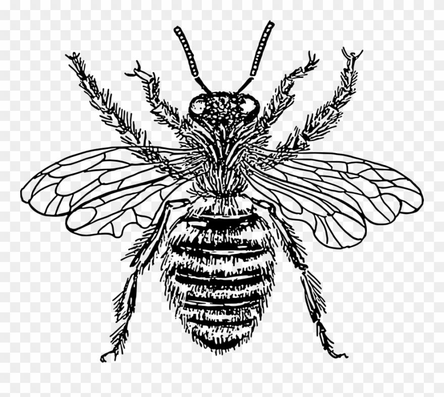 Bee Queen Svg Vector File Vector Clip Art Svg File Vintage Honey Bee Illustration Png Transparent Pn Ilustracion De Abeja Dibujo De Abeja Tatuaje Con Abejas