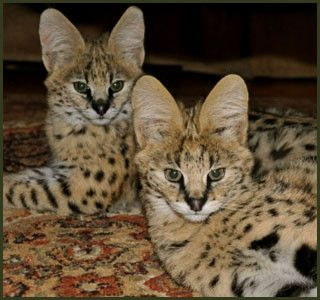 F1, F2, F3, F4, & F5 Savannah Cats for Sale - Kitten