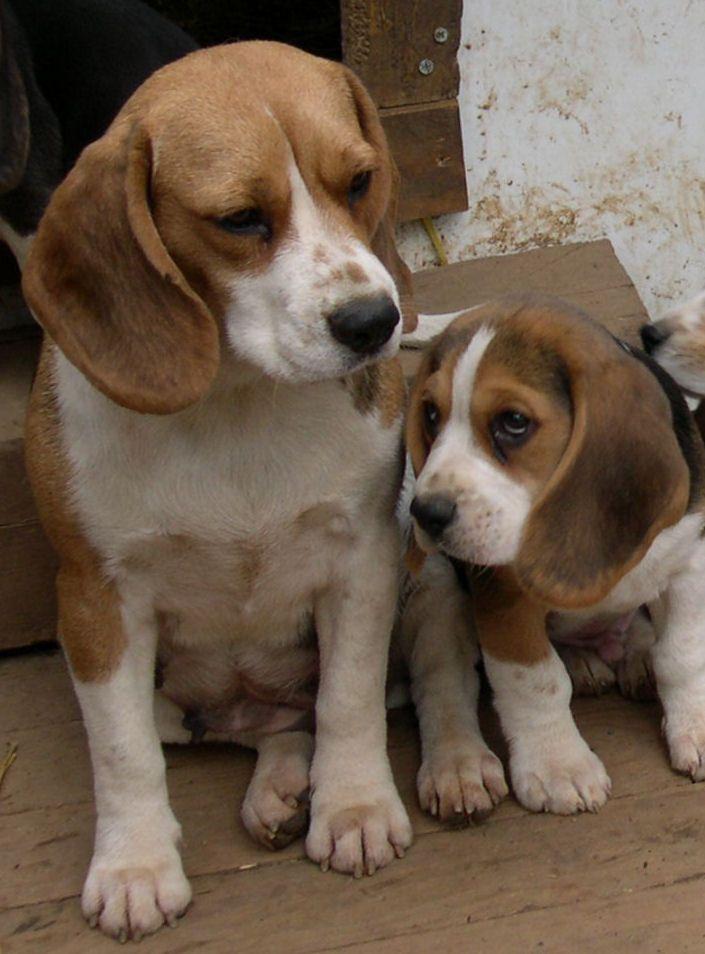 Biba Eclair Sweet Beagle Puppies Beagle Puppy Beagle Dogs