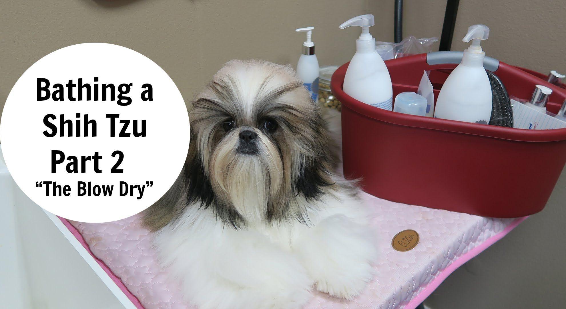 Bathing A Shih Tzu Part 2 The Blow Dry Shih Tzu Dog Grooming