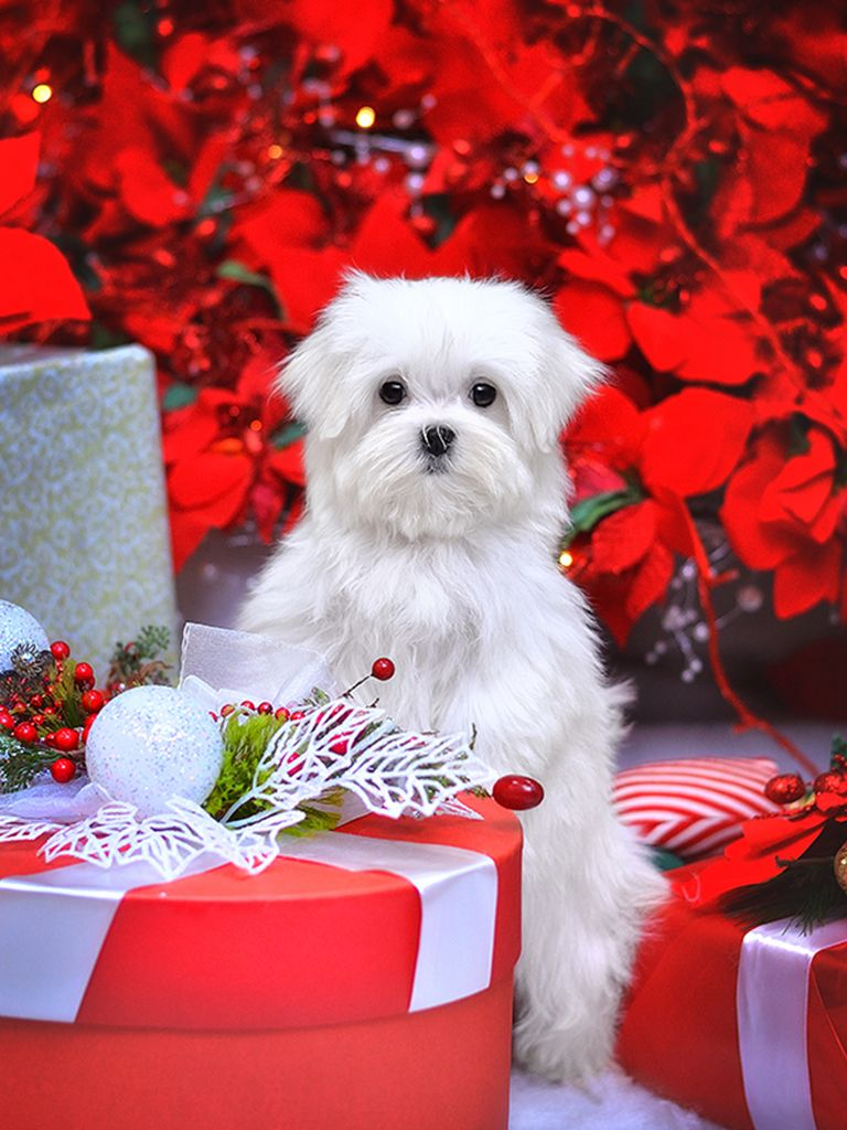 Maltese Maltese For Sale Maltese Puppy Maltese Puppies For Sale