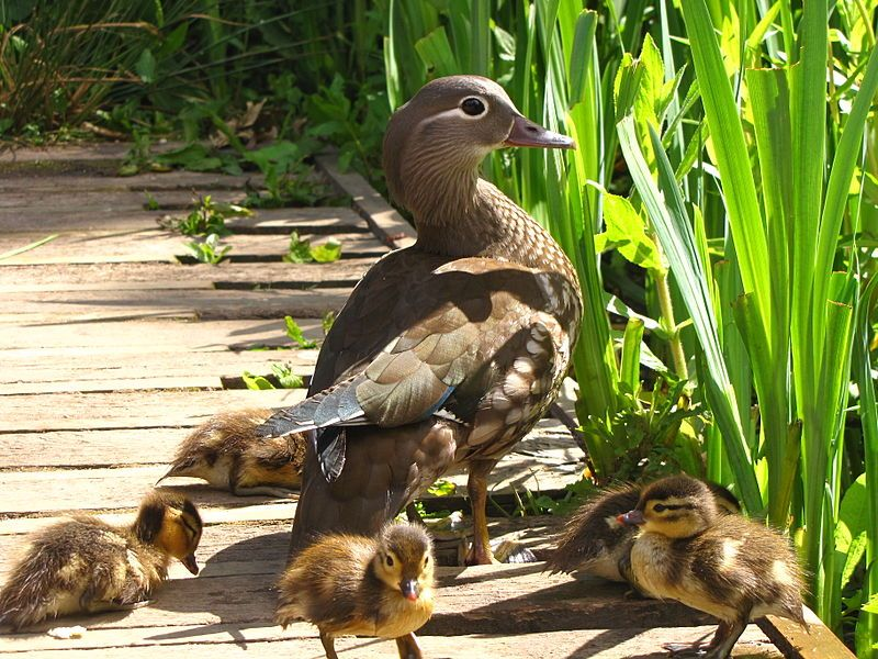 Mandarin Mother Duck with her Baby Ducklings in Richmond