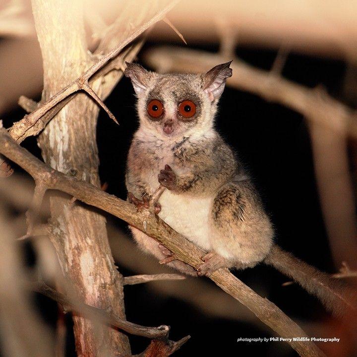 "African Wildlife Foundation on Instagram: ""The bush baby's ..."