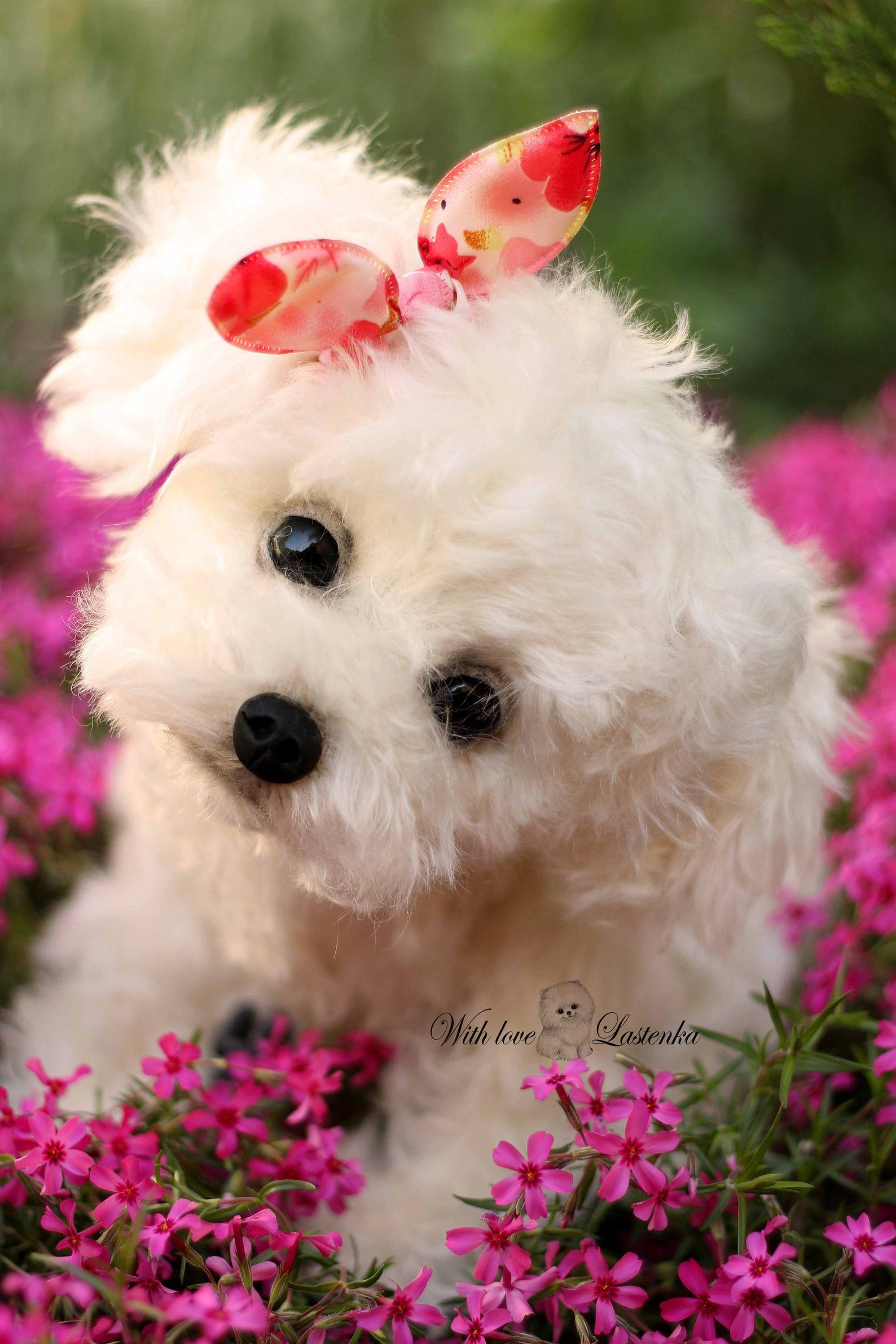 Pin On Teacup Maltese Puppies