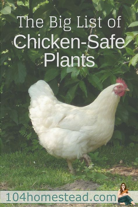 Can my chicken eat this?   Chickens backyard, Plants for ...