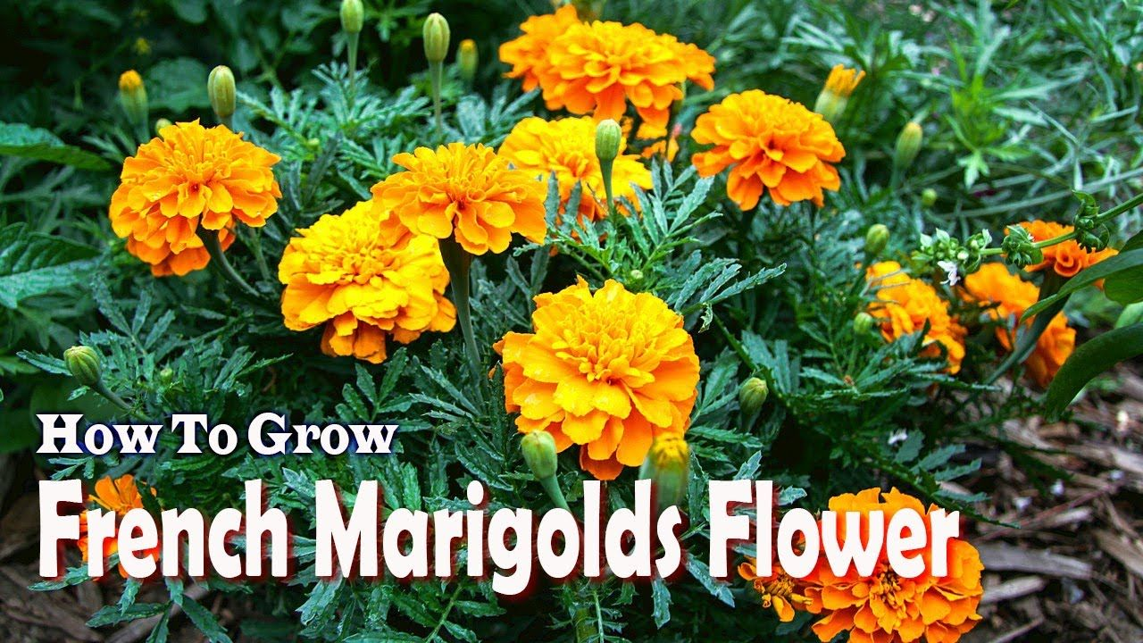 How To Grow French Marigolds Flower Gardening Tips
