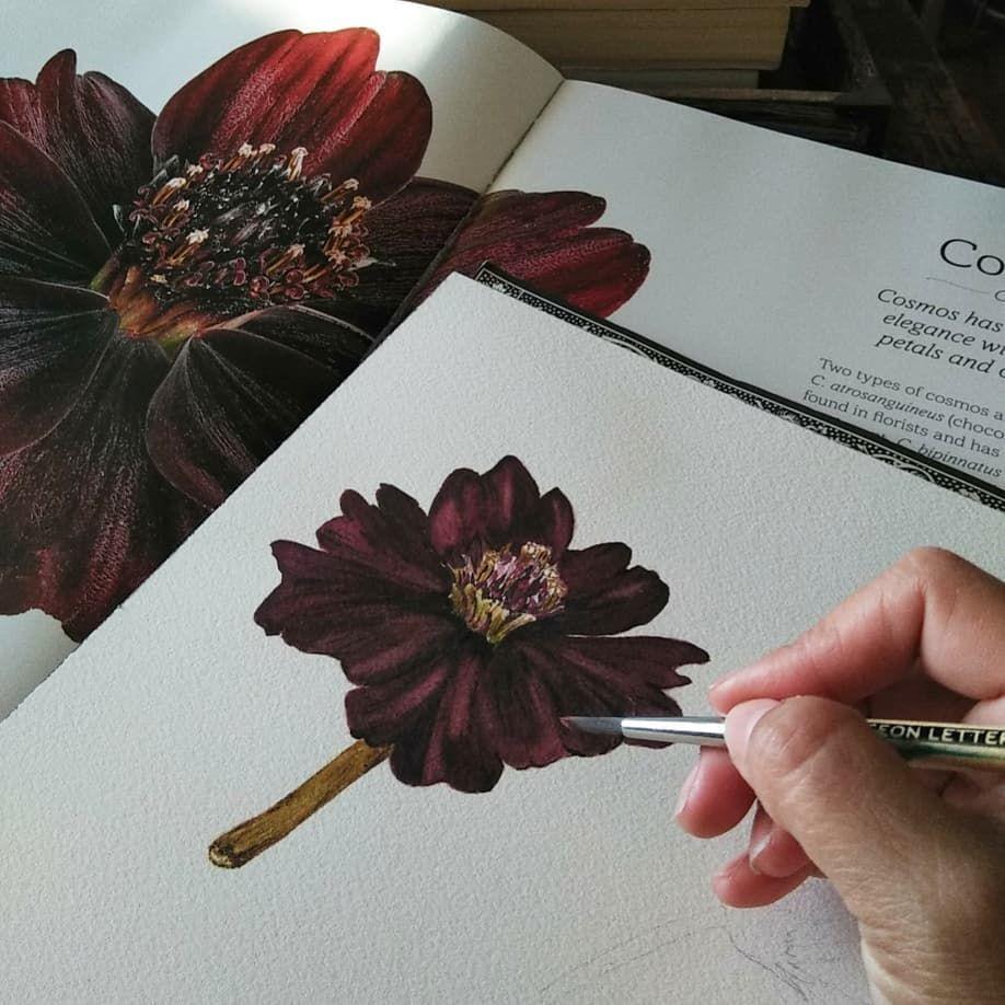 Chocolate Cosmos In Watercolor Biotadrawings Cosmosflower Chocolate Cosmos Botanical Watercolor Botanical Art