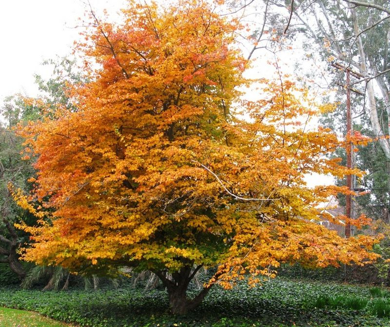 Image result for parrotia persica