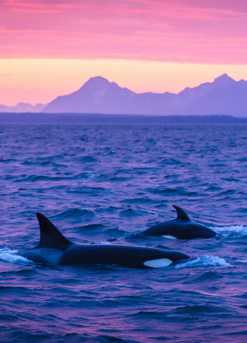 #orcas off the coast of #Alaska photography by #JustinHoffman