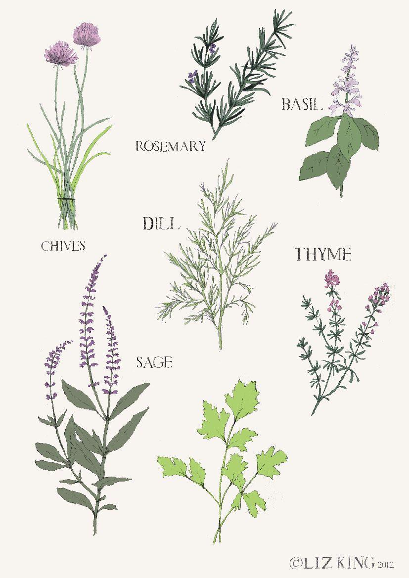 herbs drawing - Goog