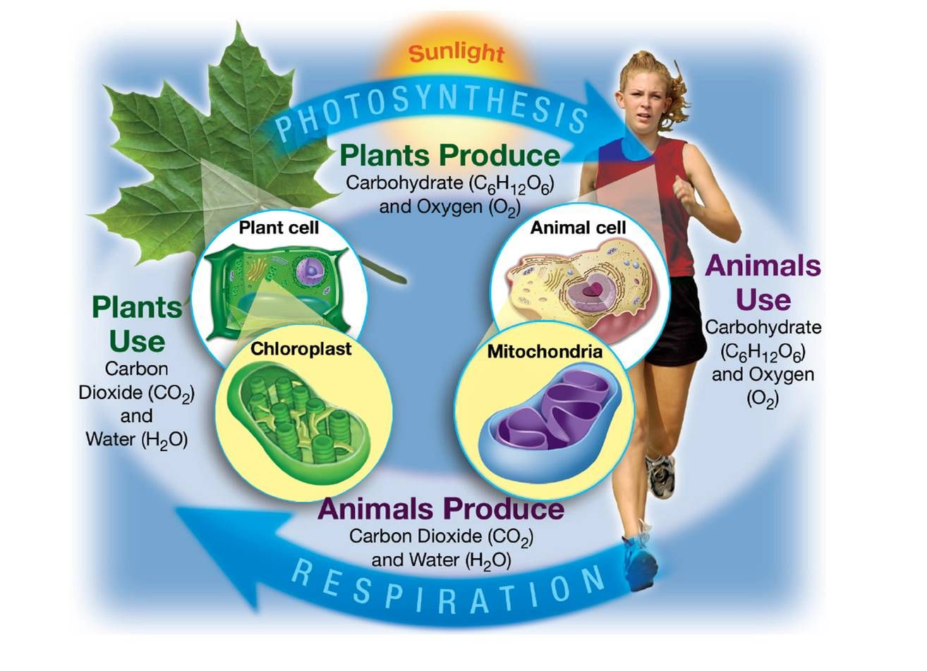 biology photosynthesis Photosynthesis and chemosynthesis, whereas heterotrophic organisms harvest free alignment to the ap biology curriculum framework.