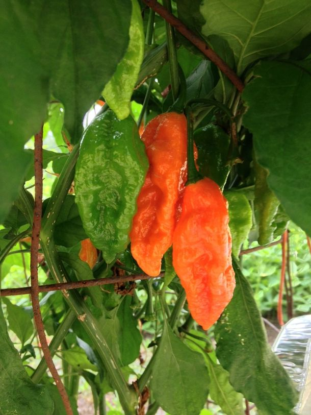 Ripe Ghost Chilies grown in southern VA  #plant #ripe #ghost #chilies #grown #southern #photography