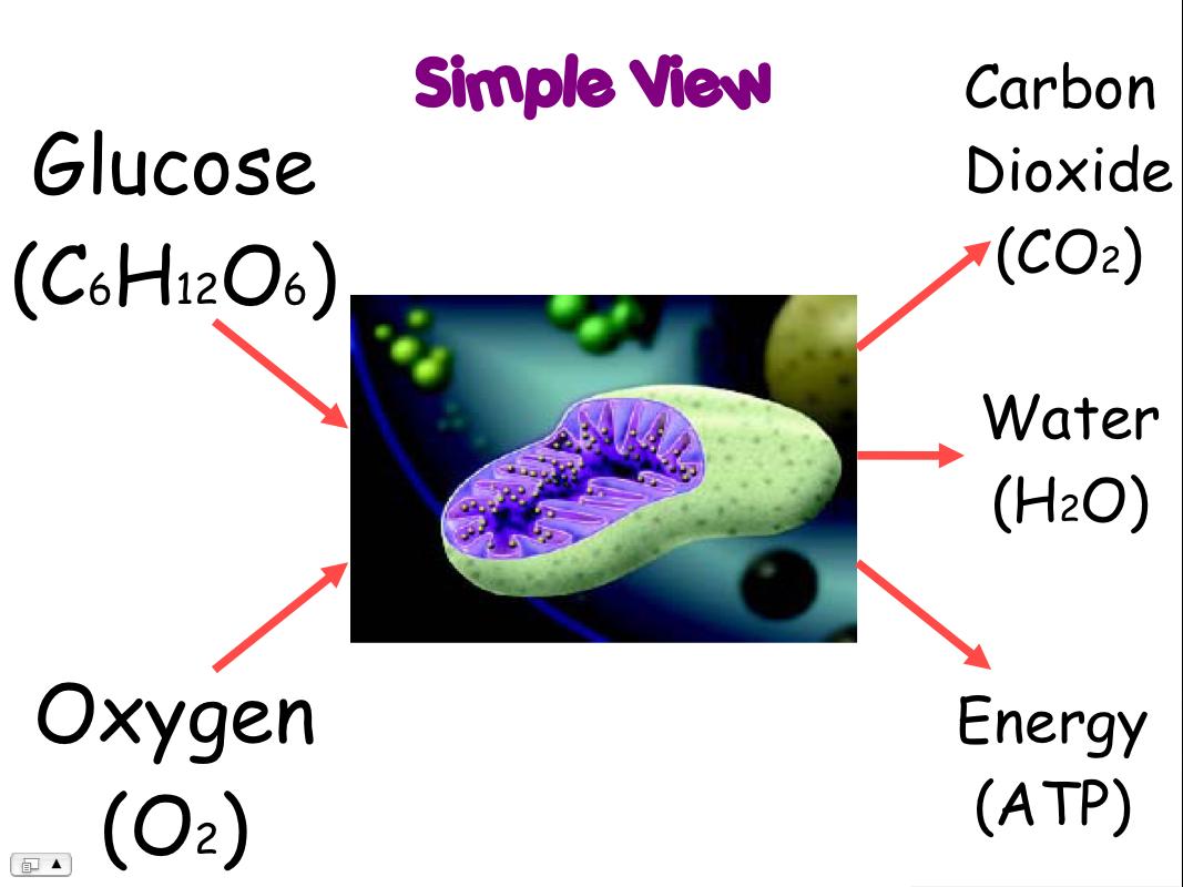 Cellular respiration diagram simple ccuart Images