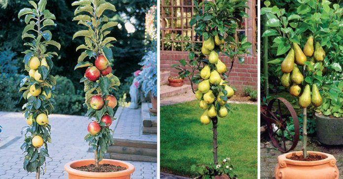 Columnar fruit trees. Fruit orchards are a little piece of heaven on Earth, and having one of these is like a dream come true, because you can munch on your very own organic fruit.