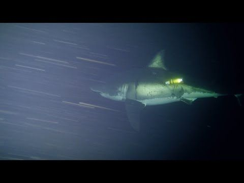 GoBajaCA   Great White Naps for First Time on Camera