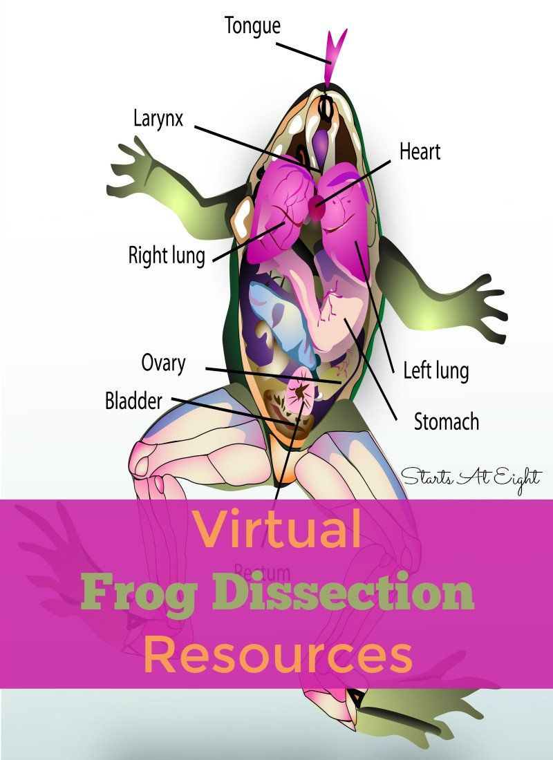 Frog Dissection Worksheet Answer Virtual Frog Dissection Resources Startsateight In 2020 Frog Dissection Homeschool Science Lessons Homeschool High School