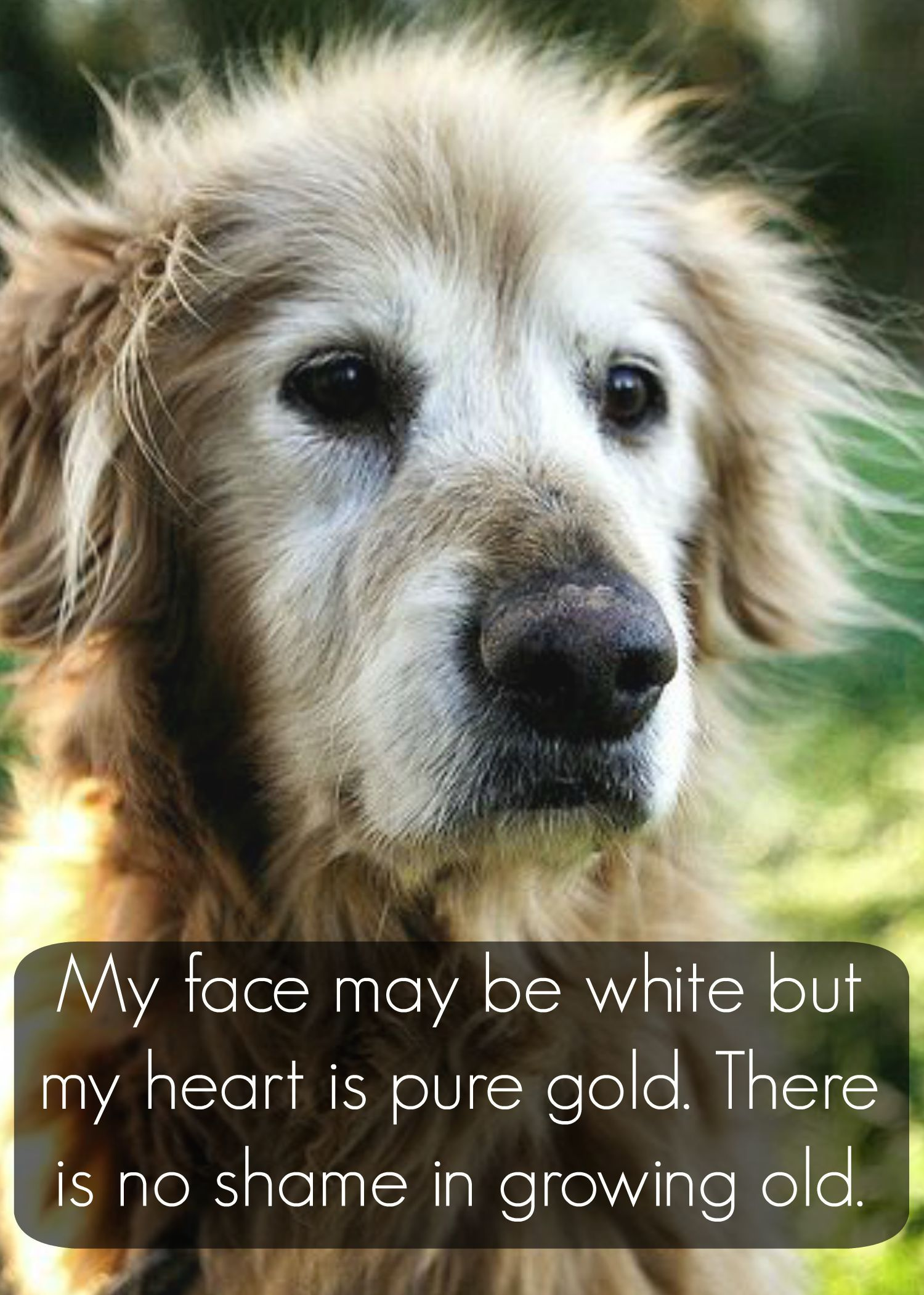 old #Golden #Retriever | #dog #quote #saying | www.fordogtrainers.com