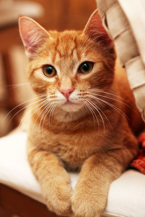 Cat Facts Why Orange Cats Are Usually Male Cattime Orange