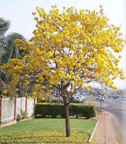 TABEBUIA caraiba exotic yellow trumpet golden tree ...