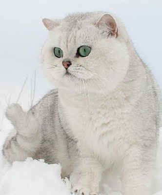 British Shorthairs This Silver Shaded Hidden In Snow Beautiful
