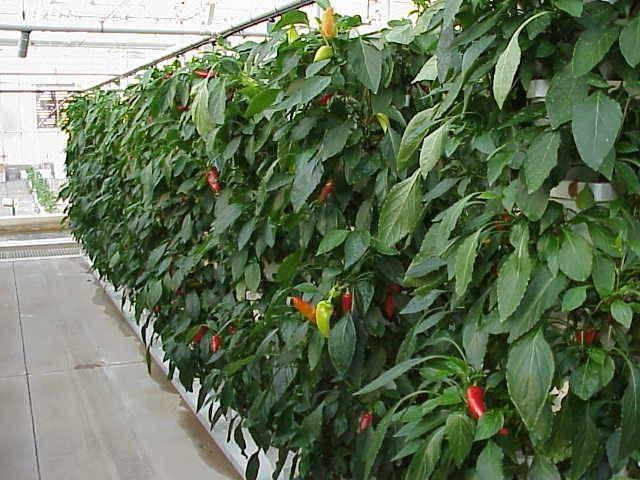 Hydroponic Peppers Aquaponics Hydroponics Plants