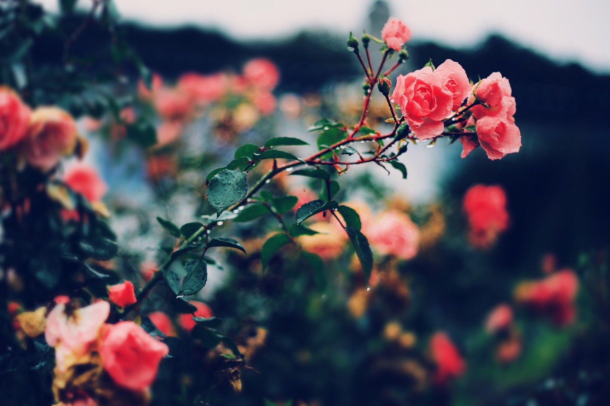 General 2304x1536 plants flowers rose