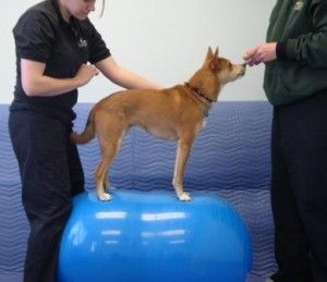 Core Proprioception And Balance Exercises From Paradise Canine