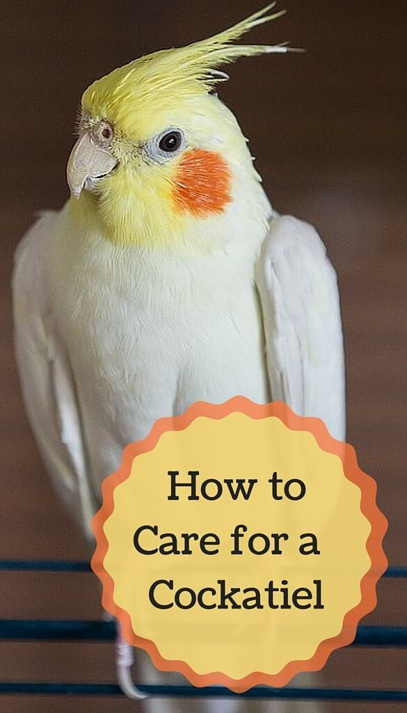 The Complete Beginners Guide To Caring For Cockatiels As Pets