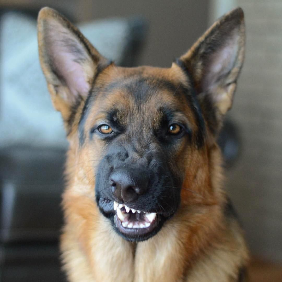 dog fuck german