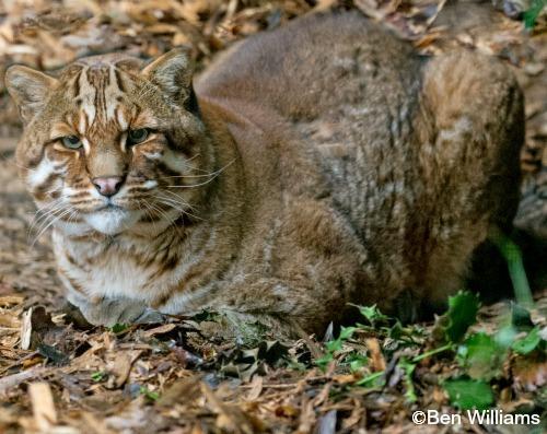 Asian Golden Cat Wild cat species, Cat species, Cats