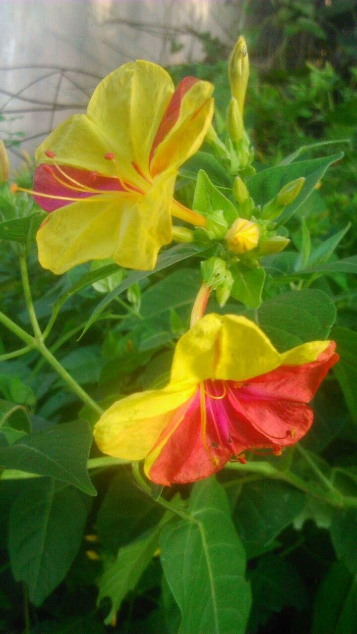 Flores silvestres de El Salvador | FLORES NATURALES | Pinterest ...