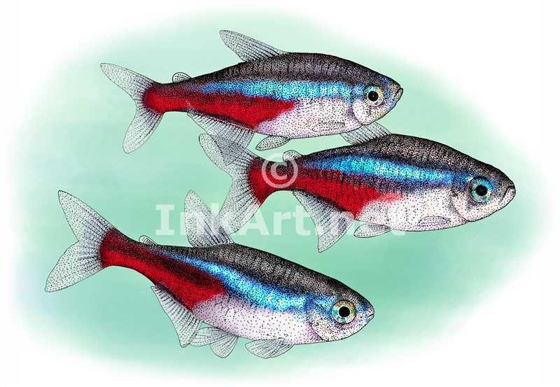 Neon Tetras Paracheirodon Innesi Line Art And Full Color Illustrations Tattoo Art Drawings Fish Drawings Fish Art