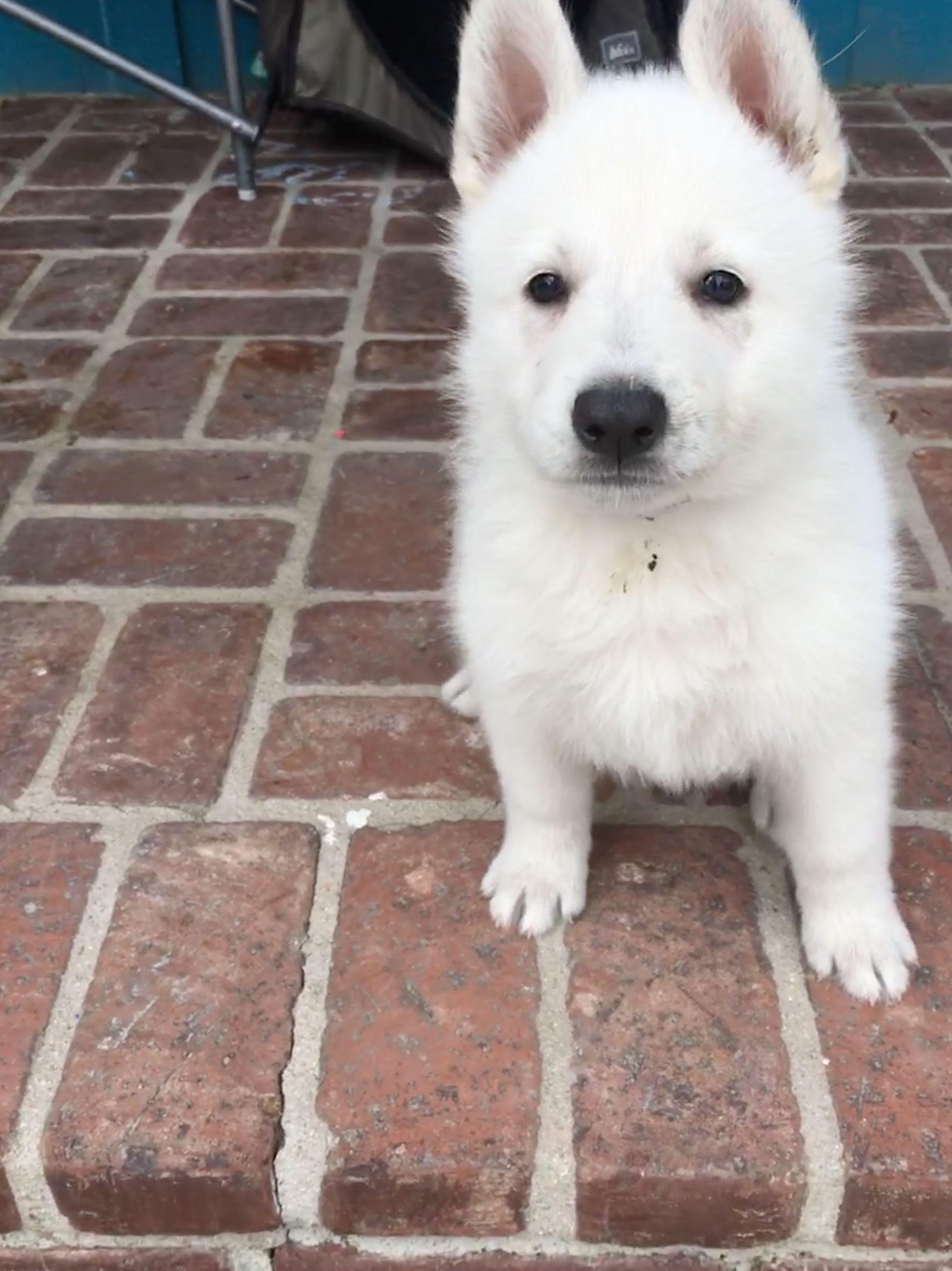 Purple Girl A Female Ukc White Shepherd Puppy For Sale In