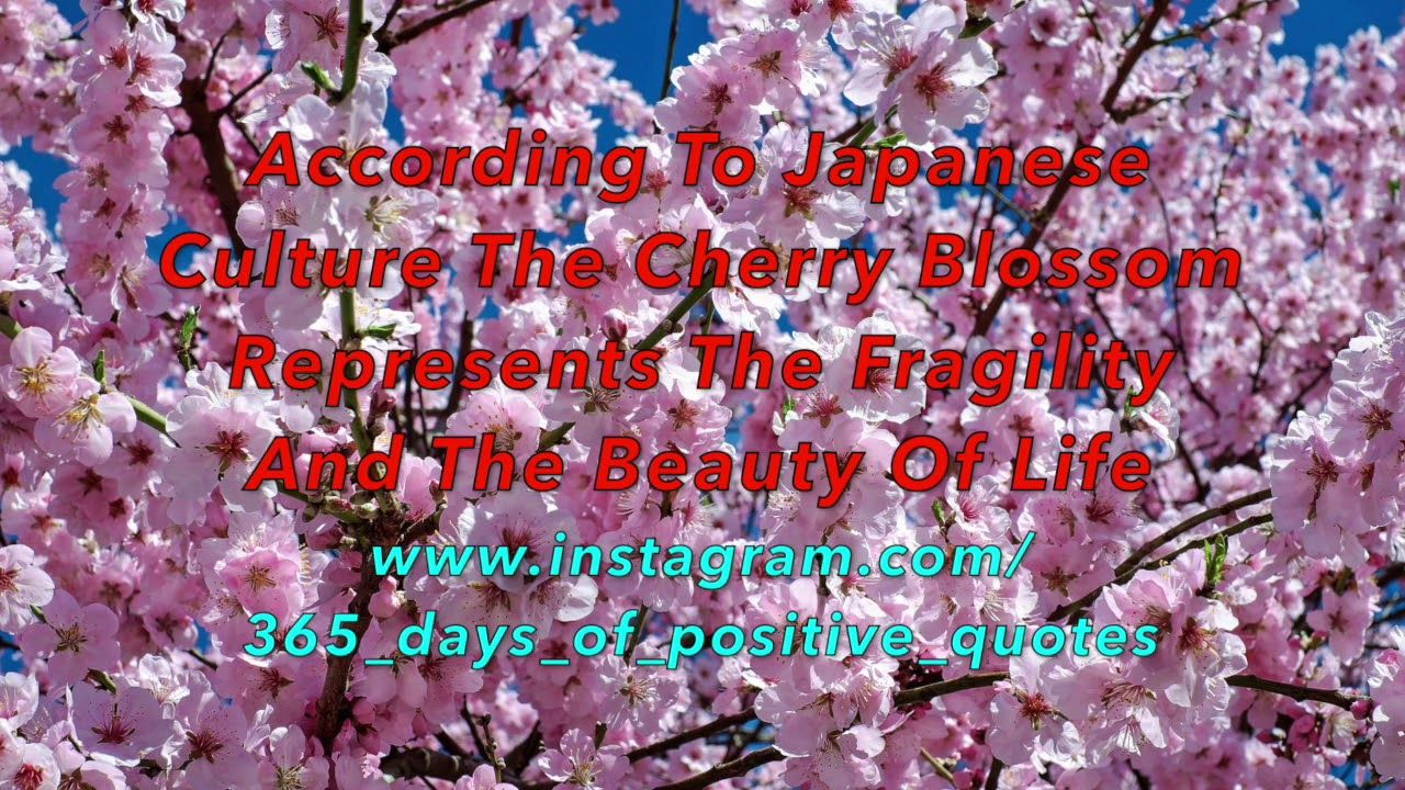 What Does Sakura Really Mean In Japanese Cherry Blossom Japan Japanese Holidays Japan Culture