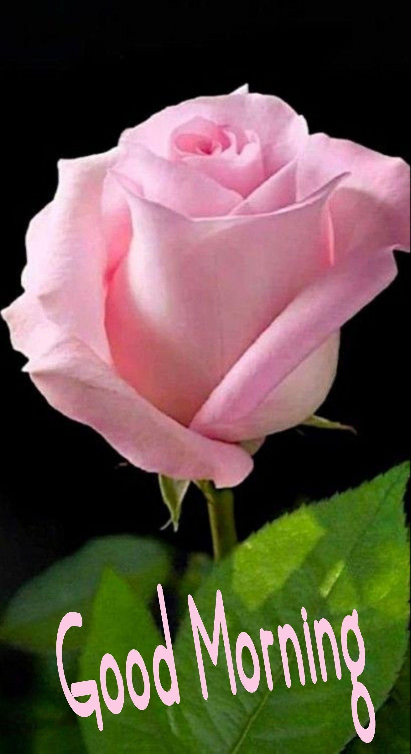 Pin By Vikram Joshi On Morning Wishes Good Morning Romantic Good Morning Love Rose Flower Wallpaper