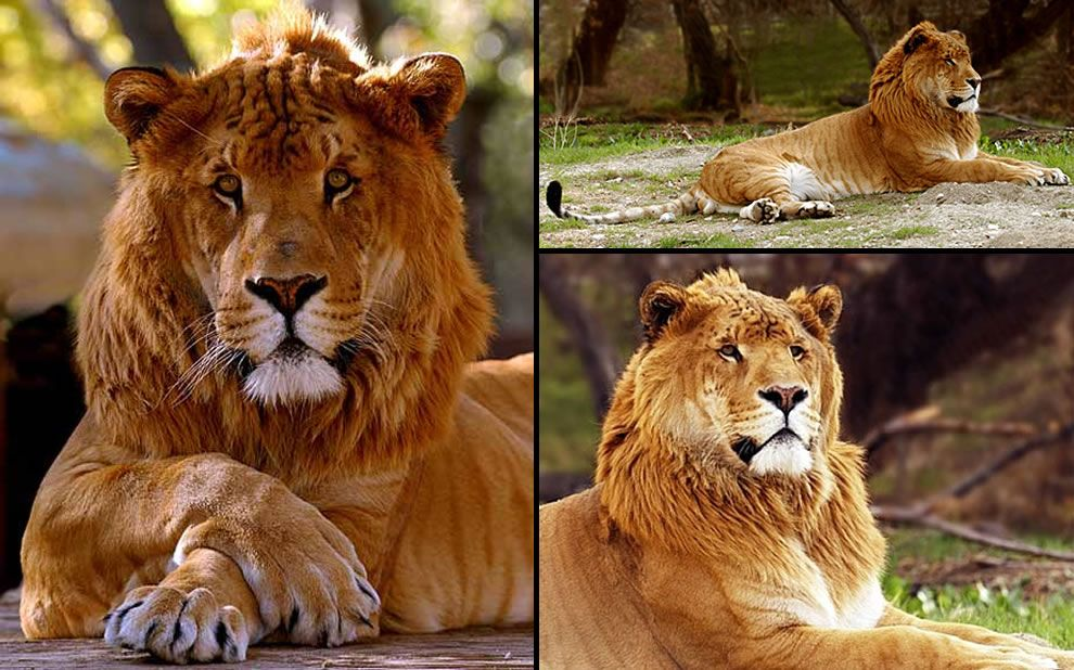 Male liger.  Cross between a lion & tiger