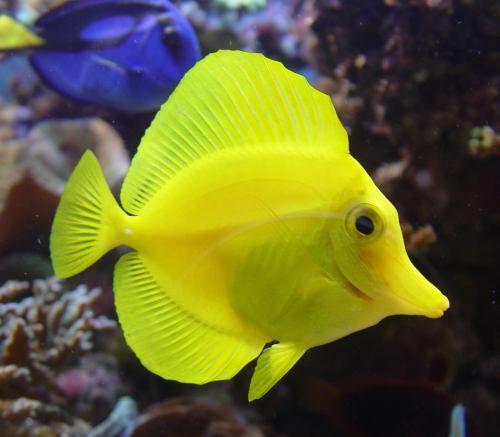Yellow Tang Fish With Images Tang Fish Marine Animals Fish