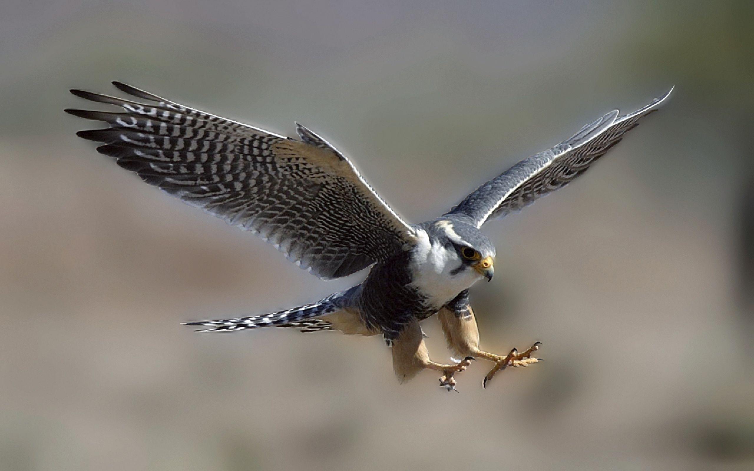 Falcon ペットの鳥 飛んでいる鳥 ハムスター速報