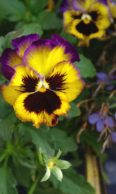 Pansies I Grew In My Garden Last Summer Photo By Judy Leila Schafers Pansies Flowers Flowers Photography Pansies