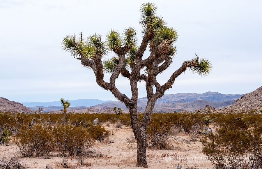 Joshua Tree National Parks California | ... , California, Joshua Tree National Park. Jumbo Rocks. A Joshua tree